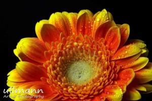 Flowers ullmann a&p (20)