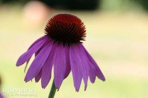 Flowers ullmann a&p (3)