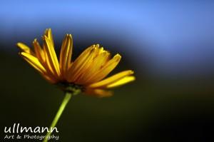 Flowers ullmann a&p (9)